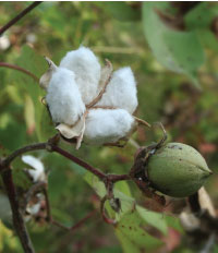 Can humble cotton win Spinzilla gold? We think so!